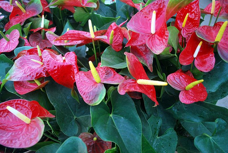 7-plantas-para-cultivar-dentro-de-casa-anturio
