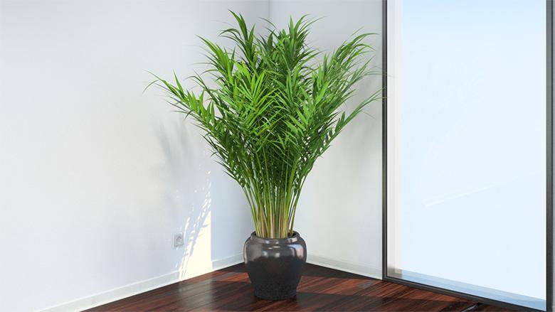 7-plantas-para-cultivar-dentro-de-casa-areca