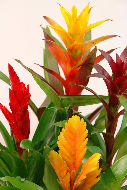 7-plantas-para-cultivar-dentro-de-casa-bromelia